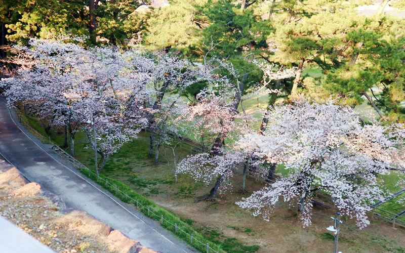 見下ろす桜