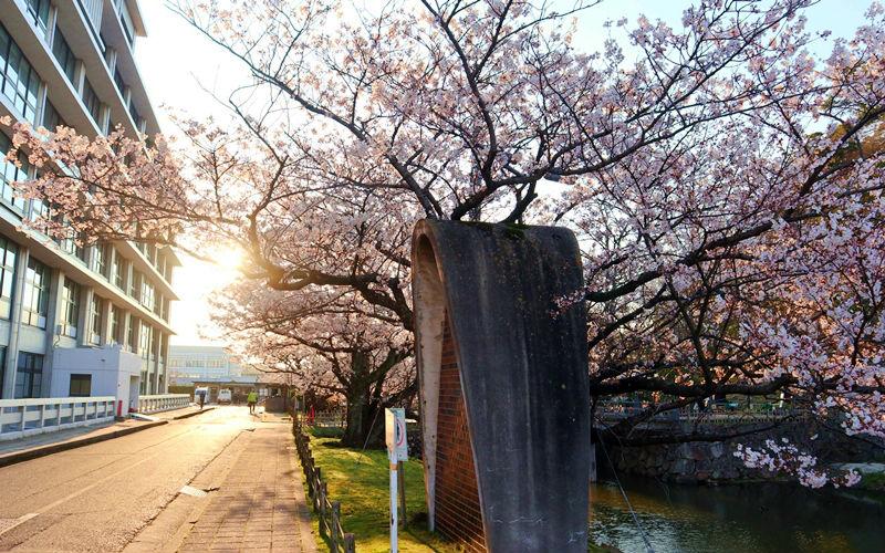 県庁の桜並木