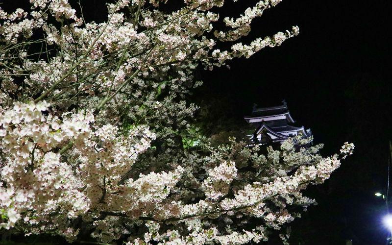 ライトアップされた桜と天守閣