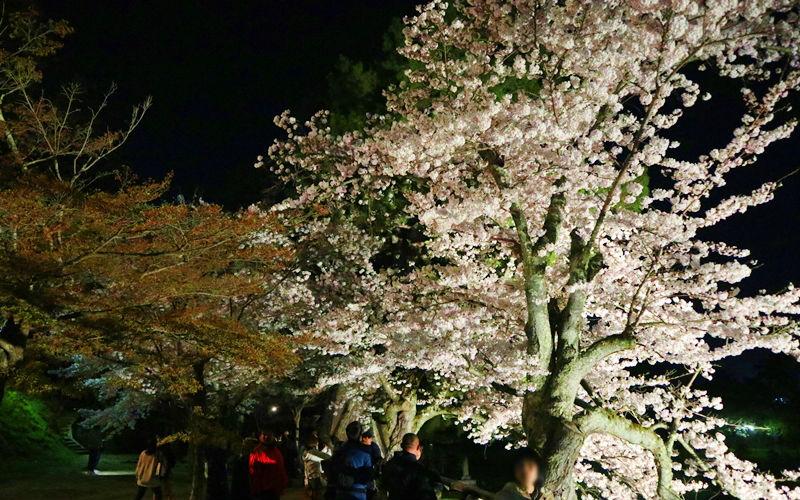 大手前の夜桜