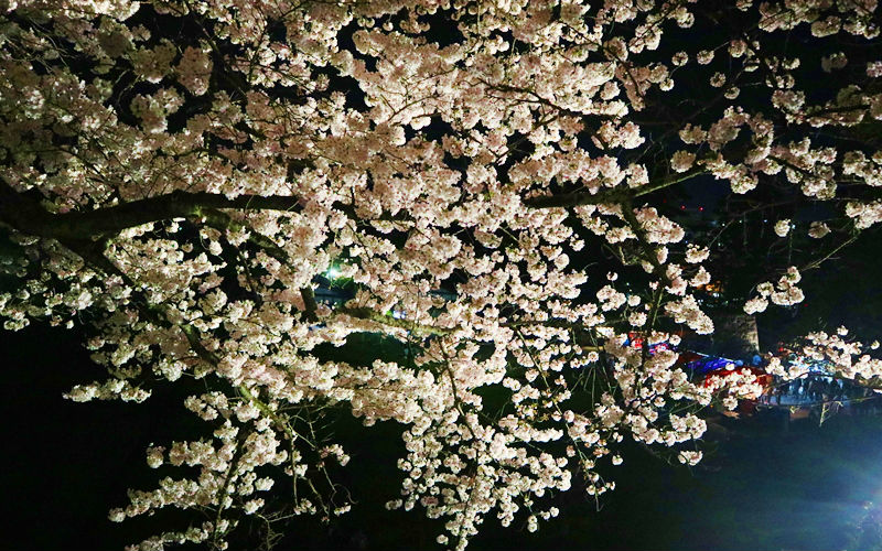 夜桜アップ