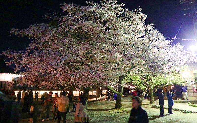 二の丸の一本桜