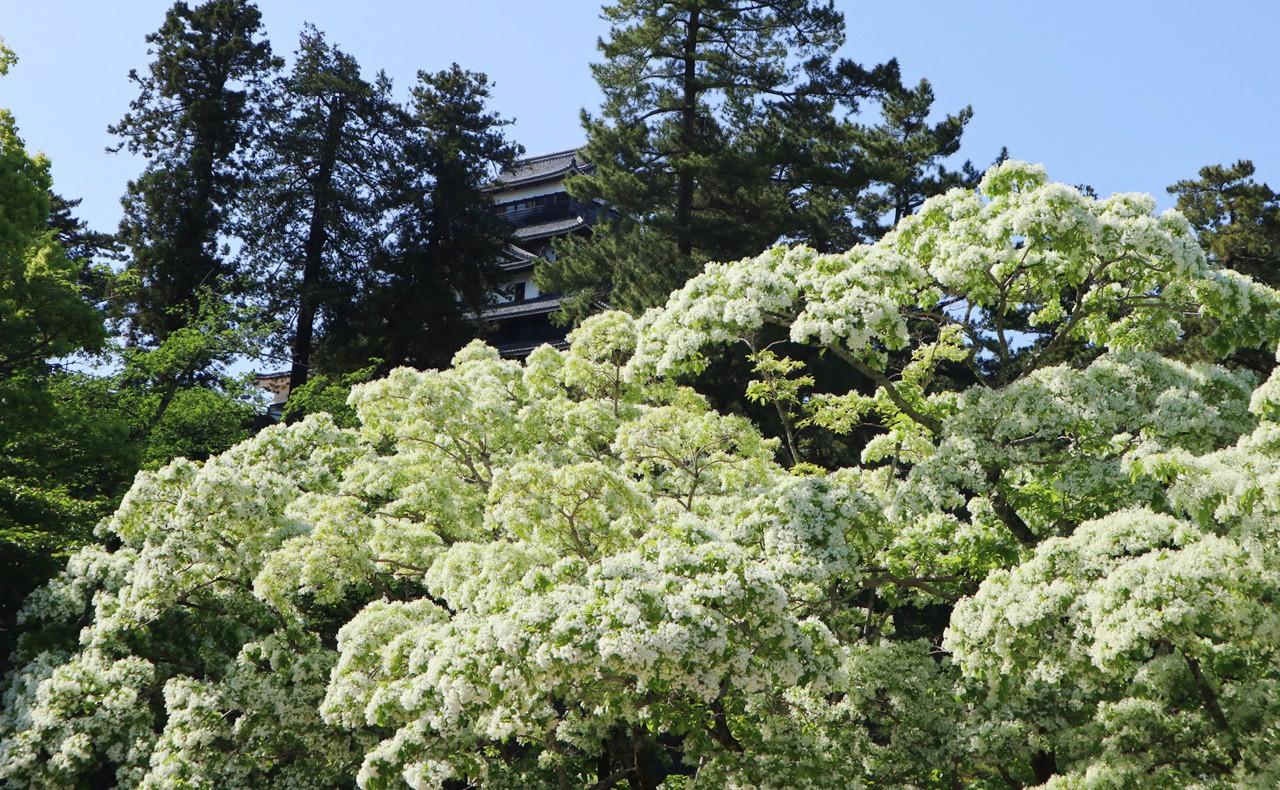 松江城となんじゃもんじゃ